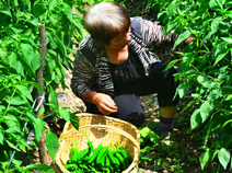 神農架貧困戶玉米地改種辣椒 一畝賺上萬元(圖)