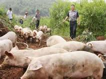來鳳精準扶貧掠影:藤茶土豬農家樂